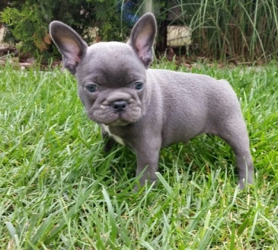 Dogs Teacup French Bulldog Pups Ready Now